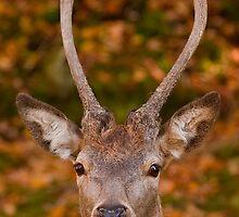Deer Eye Contact - Autumn by Benjamin Brauer