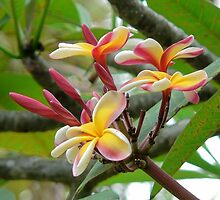 Pink, yellow and white plumeria by Martha Sherman