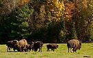 Buffalo Herd - Autumn by Benjamin Brauer