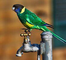 Australian Ringneck Parrot by bowenite
