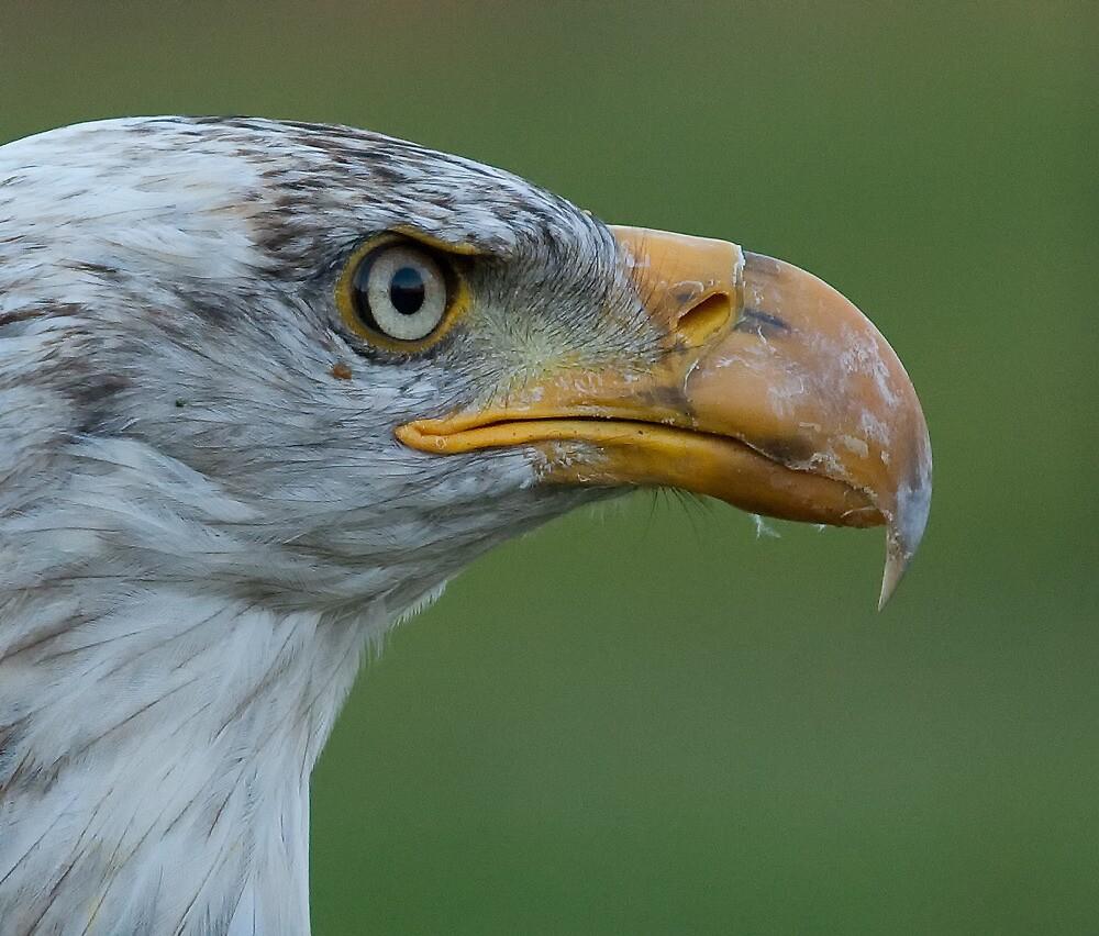 Bald Eagle - Profile by Benjamin Brauer