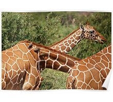 reticulated giraffes and oxpeckers Poster