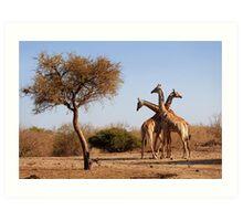 Giraffe combination, Mashatu game reserve, Botswana Art Print