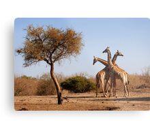 Giraffe combination, Mashatu game reserve, Botswana Metal Print