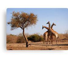 Giraffe combination, Mashatu game reserve, Botswana Canvas Print