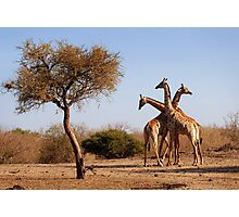 Giraffe combination, Mashatu game reserve, Botswana Photographic Print