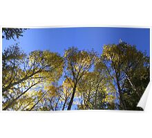 Eastern Arizona Aspen Stand in Full Color Poster