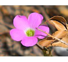 Violet Wood Sorrel - Oxalis Photographic Print