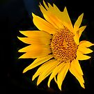 Floating Sunflower by haybales