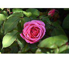 The garden Rose Photographic Print