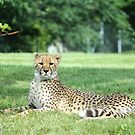 Cheeta by NewfieKeith