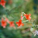 Fuchsia by Lynn Starner