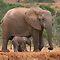 ELEPHANTS OF AFRICA - NOVEMBER 2011 AVATAR