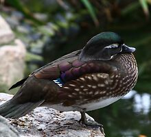 Sleeping Duck by fototaker