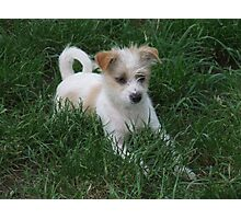Jack Russell Puppy Photographic Print