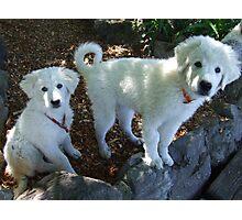 Maremma Puppies Photographic Print
