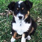 Border Collie Pup by ariete