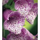 Foxglove flowers, tinted by Rod Gonzalez