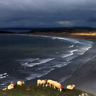 Sheep at Rhosilli Beach 2 by Matt Ware