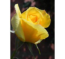 budding yellow rose 2 Photographic Print
