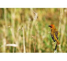 Cape Weaver  Photographic Print