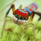 maratus splendens            peacock jumping spider    (5mm) by fishnrobo