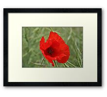 Single Red Poppy Framed Print