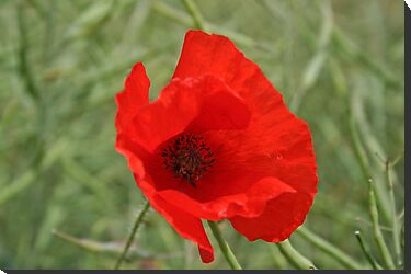 Single Red Poppy by NKSharp