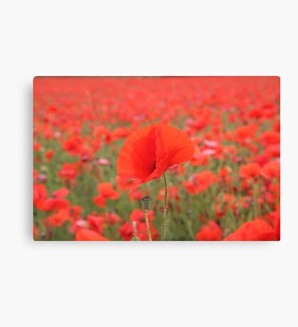 Poppy in poppy field Canvas Print