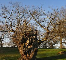 Ancient tree, Moccas Park/Coeden hynafol by blodauhyfryd