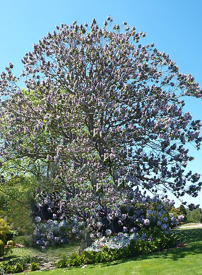 Paulownia tree warragul by bev pascoe