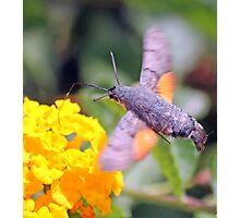 Hummingbird Hawkmoth (Macroglossum stellatarum ):  Photographic Print