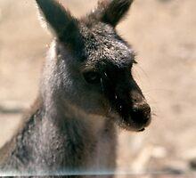 Kangaroo at Ranch in  Austrailia by BearheartFoto
