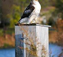 Red Tail Hawk... by Karen  Helgesen