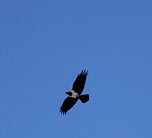 Pallid crow. by Jeannie26