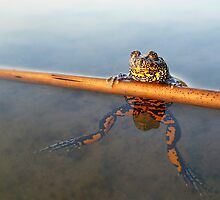 The Proud Frog by Istvan Natart