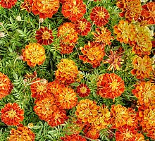 Marigolds by Simon Duckworth