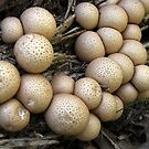 Puffballs by Rusty Katchmer