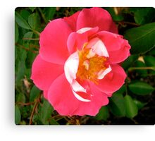 Governor General's rose 6 Canvas Print