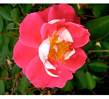 Governor General's rose 6 Photographic Print