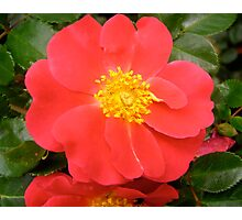 Governor General's rose 7 Photographic Print