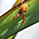 Orange Spider by Damon Colbeck