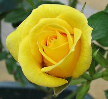 Serene Rose by BlueMoonRose