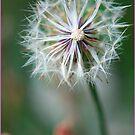 Dandy flower,FNQ. by Susan Kelly