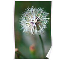 Dandy flower,FNQ. Poster