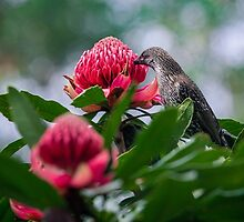 Wattlebird on Waratah by yolanda