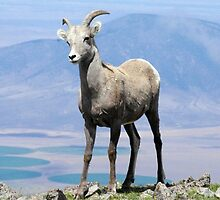 Big Horn Sheep by Paul Magnanti