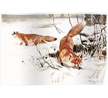 Friedrich Wilhelm Kuhnert Common foxes in the snow Poster