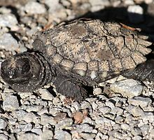 Baby snapping turtle by hummingbirds