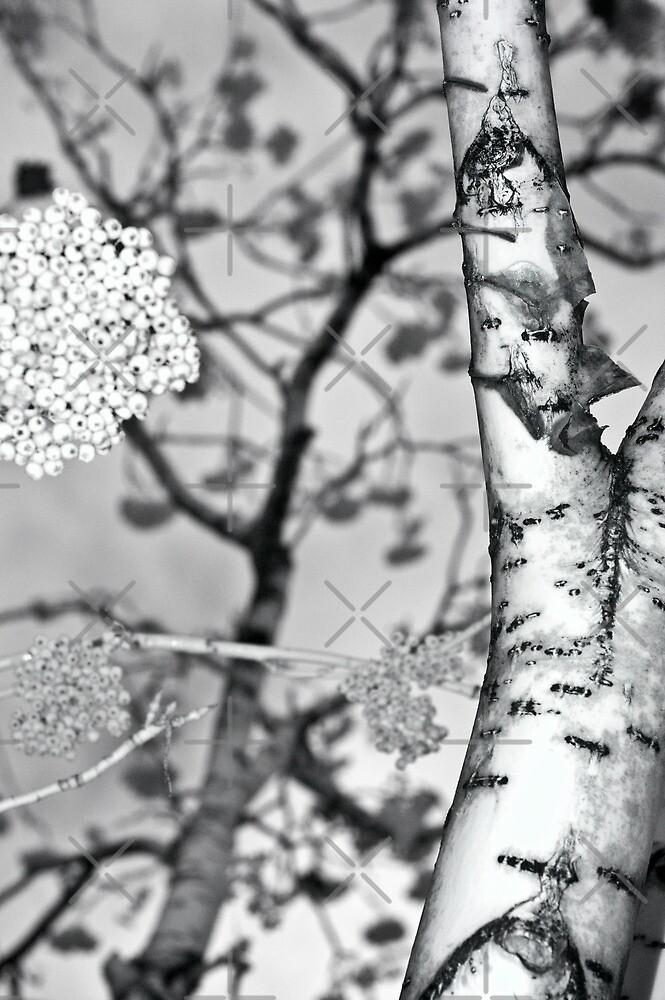 mountain ash berries by jackson photografix